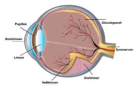 Øyet-tverrsnitt